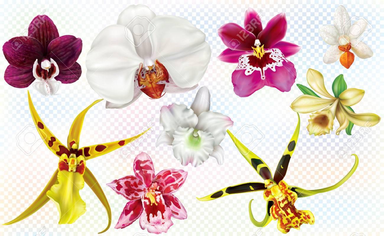 Orchidées fleurs genre différent sur fond transparent. Illustration  vectorielle