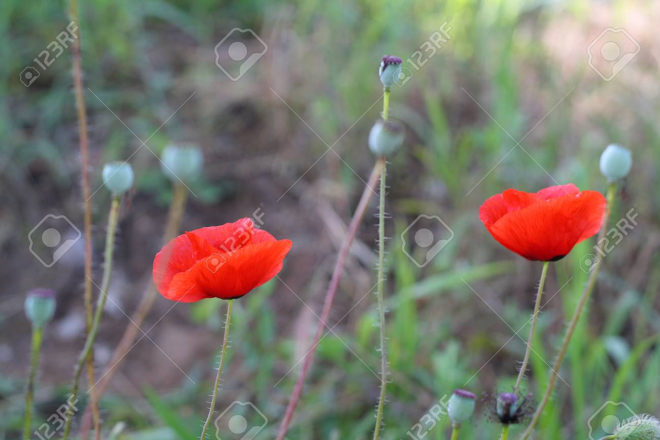Bright Red Poppy Flowers In Spring Close Stock Photo Picture And