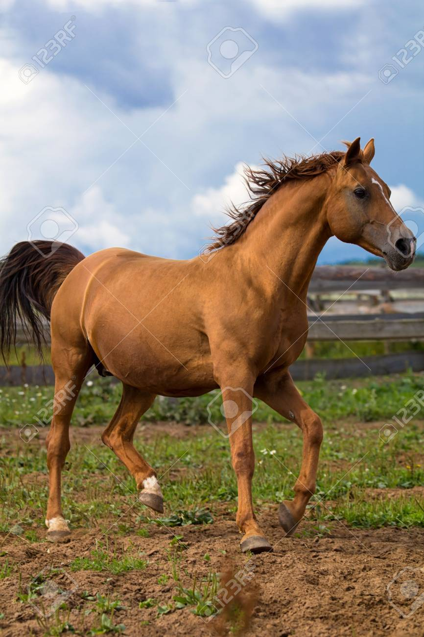 Red Gold Arabian Horse Stock Photo Picture And Royalty Free Image Image 14603622