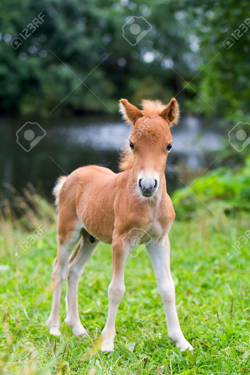 foal mini horse Falabella - 15217592