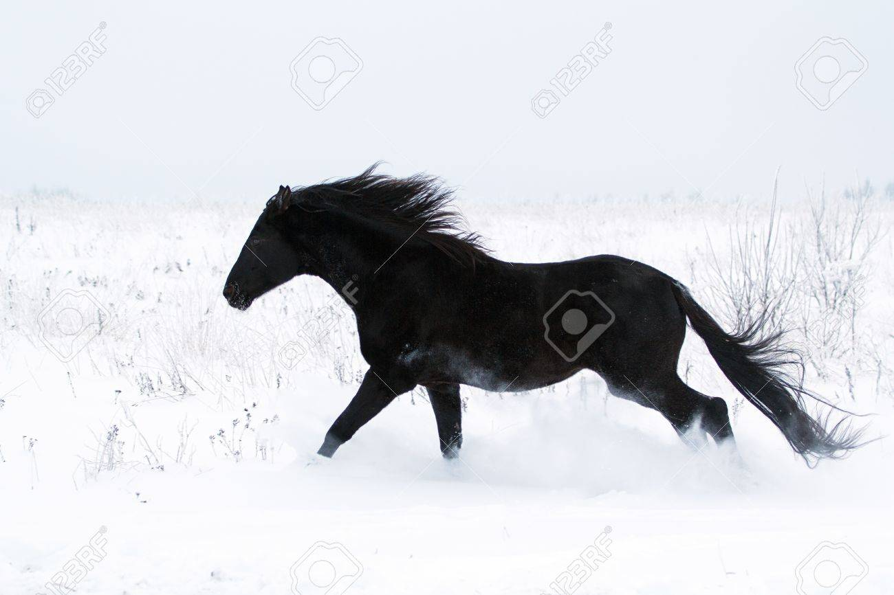 Trakehner Black Stallion Run In Snow Field Stock Photo Picture And Royalty Free Image Image 17049842