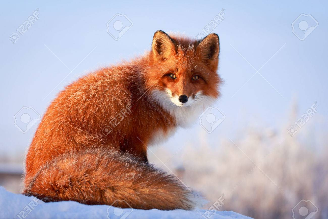 red fox Banque d'images - 35808415