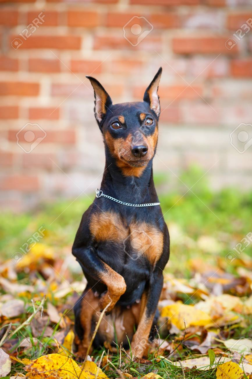 black mini pin dog