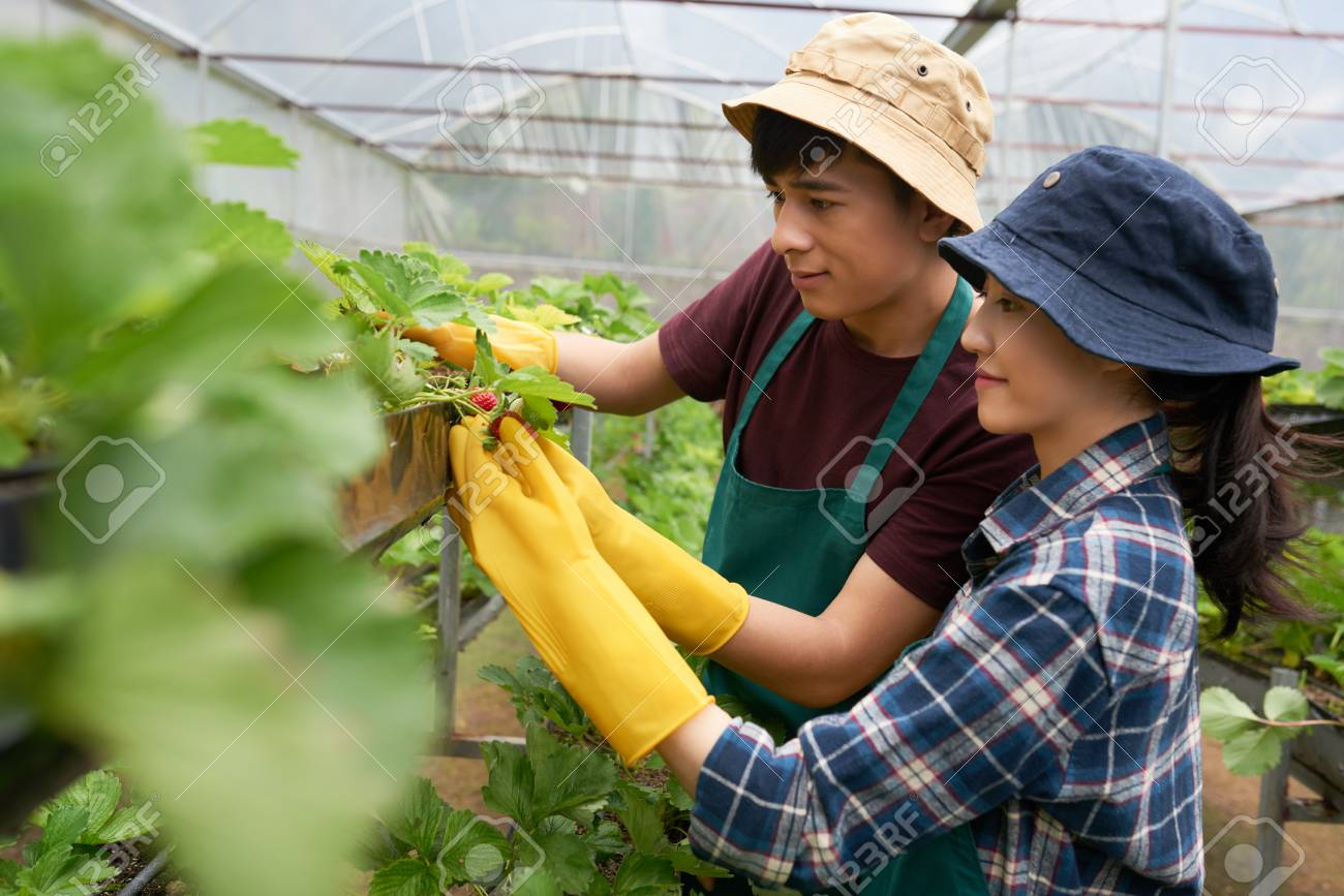 Stock Photo - Two confident young farmers wearing rubber gloves and aprons  looking at appetizing fresh strawberries with pride while carrying out  inspection ... 8ff44fff1d3c