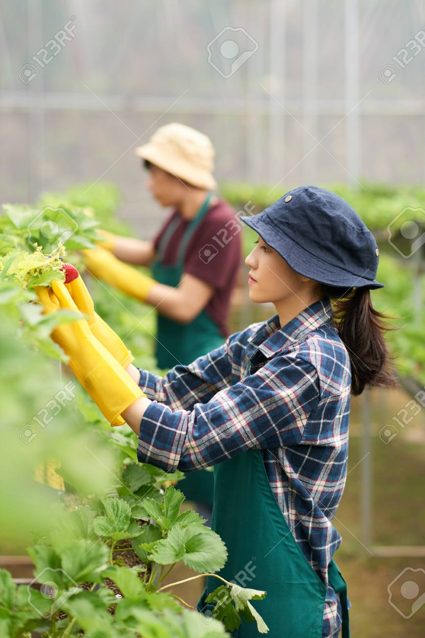 Attractive Asian greenhouse worker wearing bucket hat and apron standing at  row of strawberry bushes and 254bc83a9581