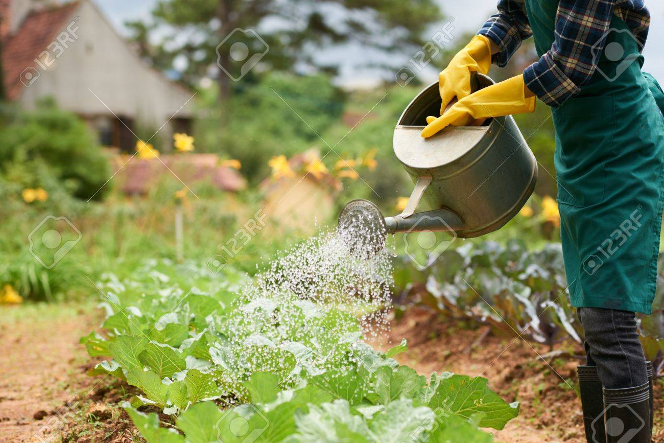 Superbe Unrecognizable Woman Wearing Rubber Gloves And Apron Watering Plants At  Spacious Vegetable Garden, Blurred Background