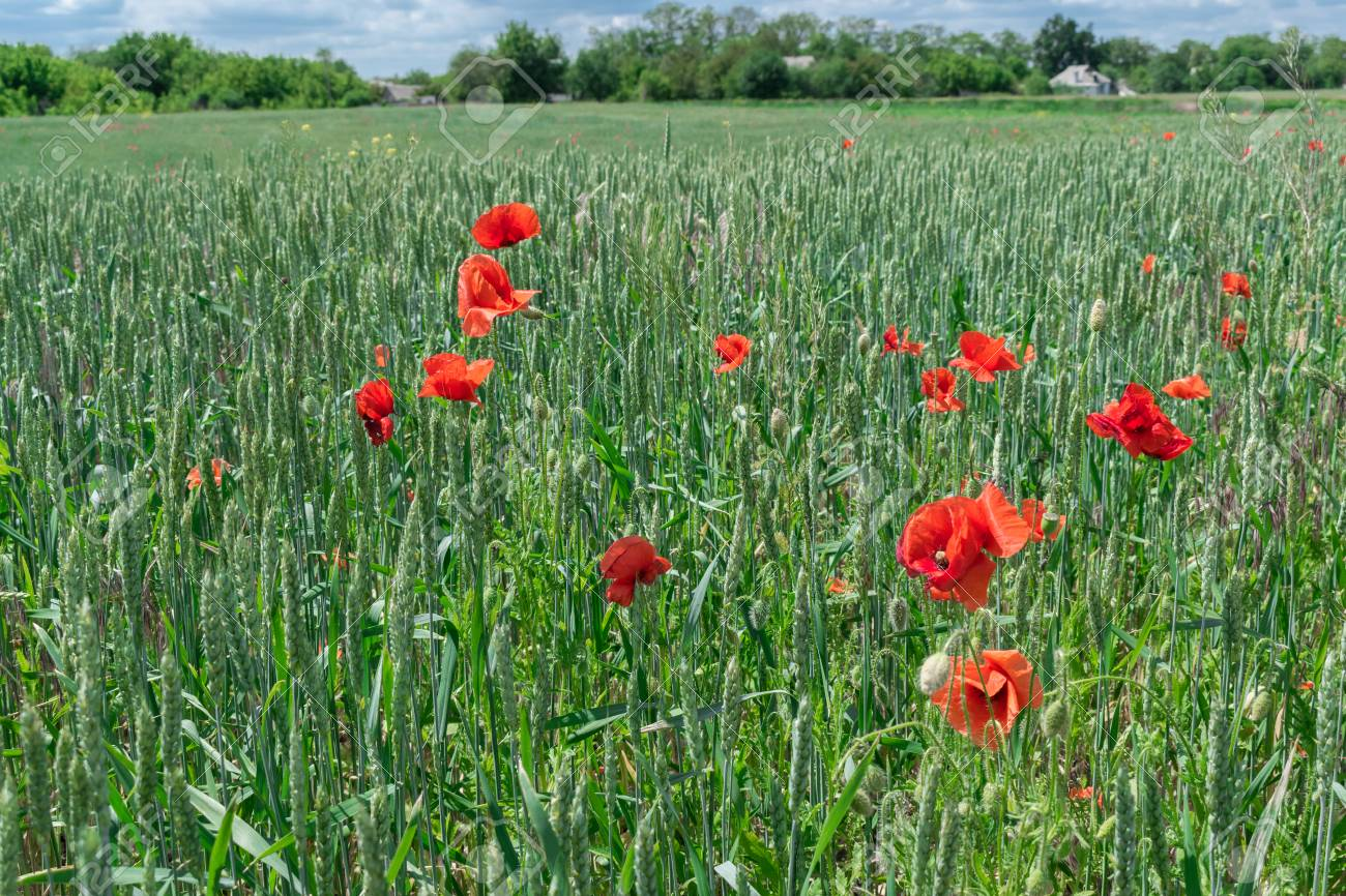 Poppy Flowers Growing On The Wheat Field Stock Photo Picture And