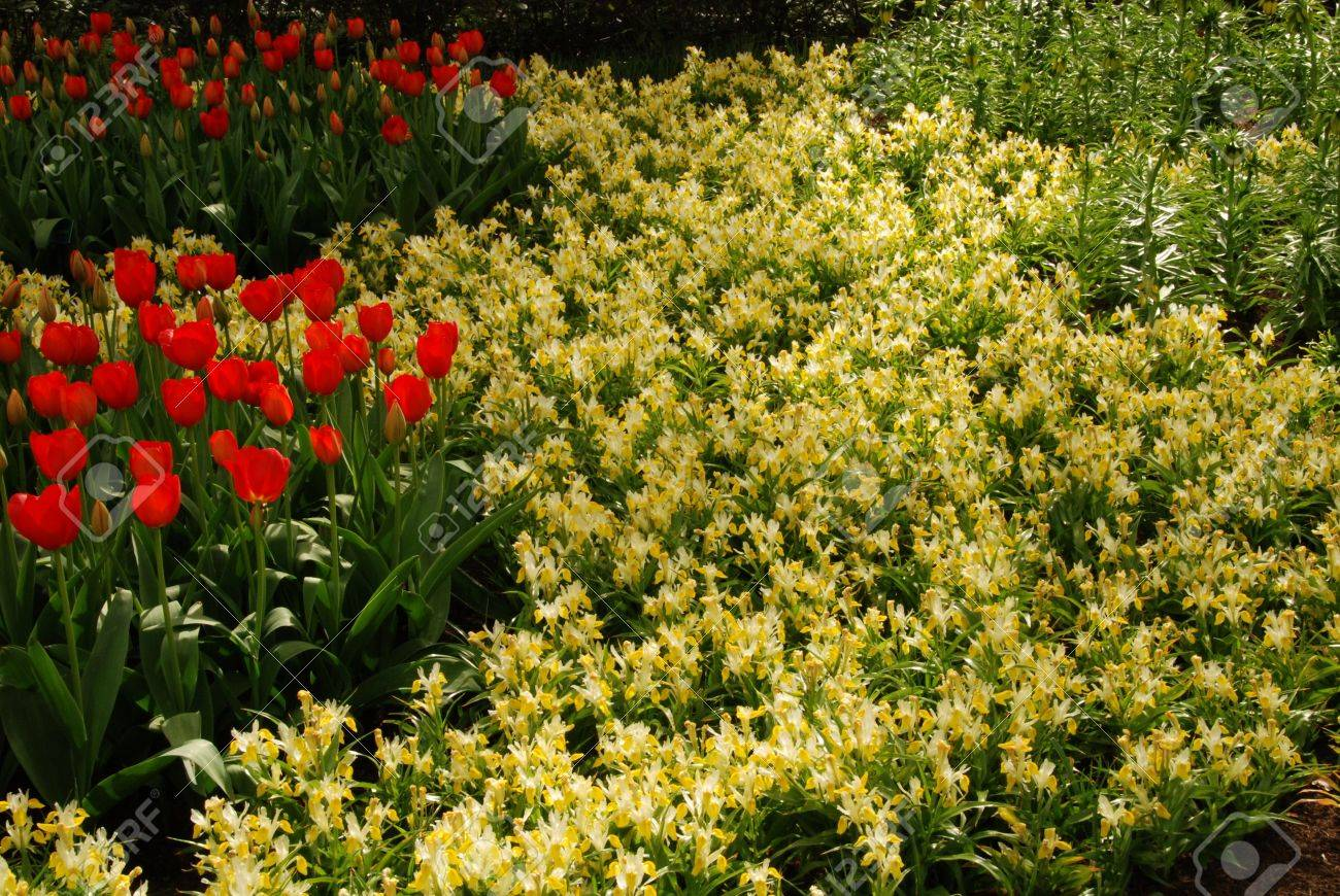 Banque d\u0027images , Champs de fleurs rouges et jaunes en Hollande au printemps