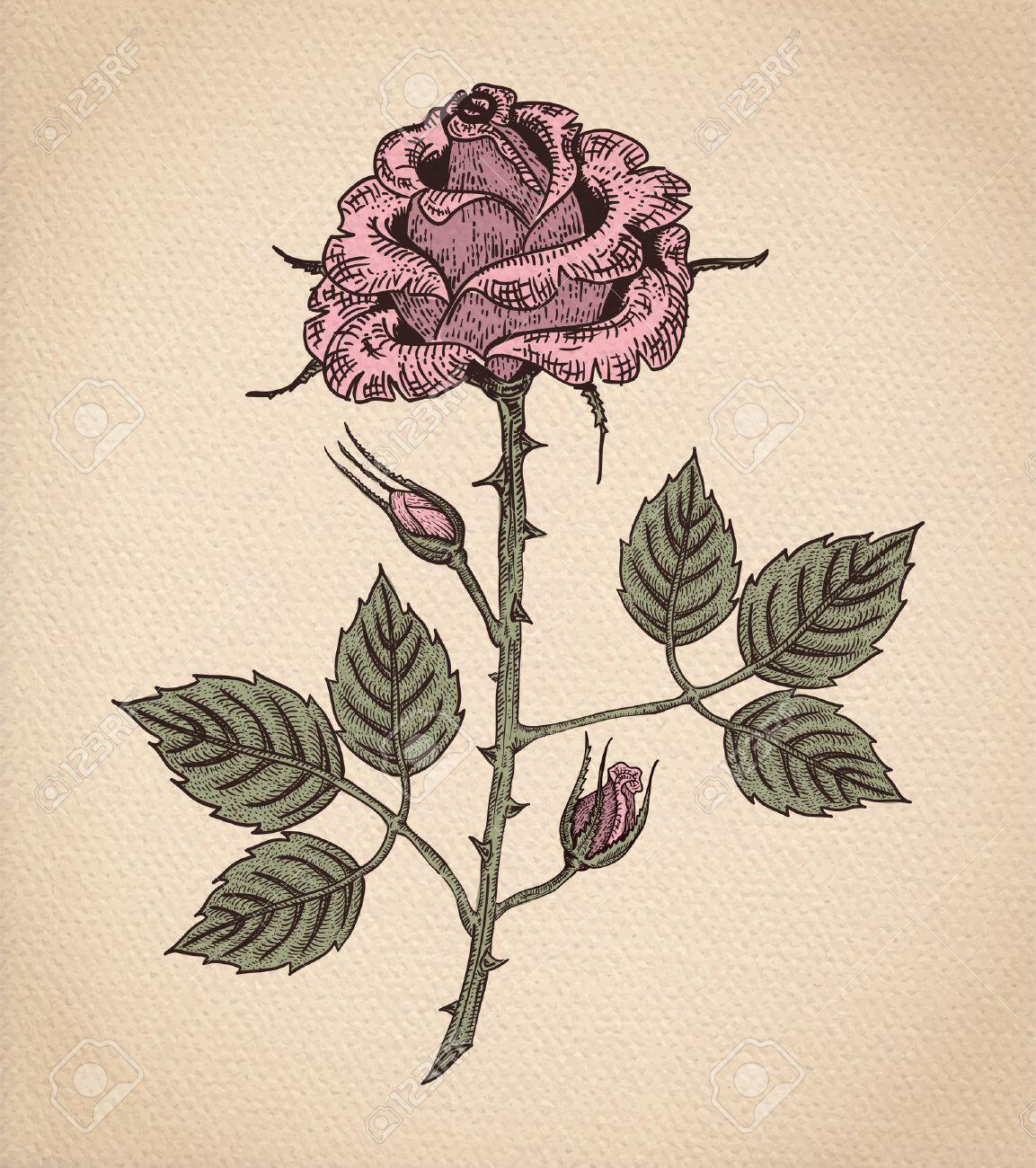 Fleur Rose Le Style Gravure Dessin Vectoriel En Couleurs Sur Papier