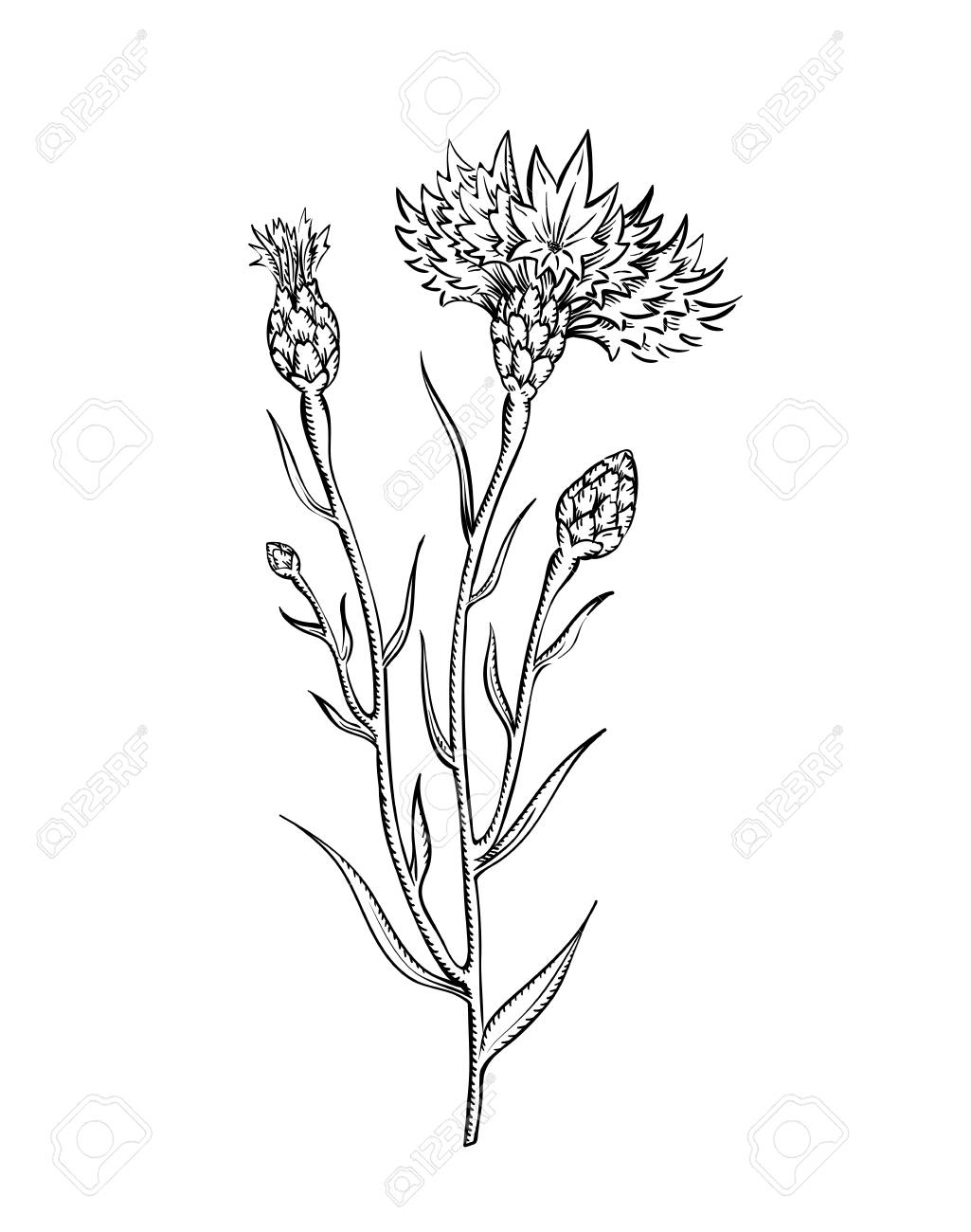 illustration of cornflower twig, sketch in vintage botanical