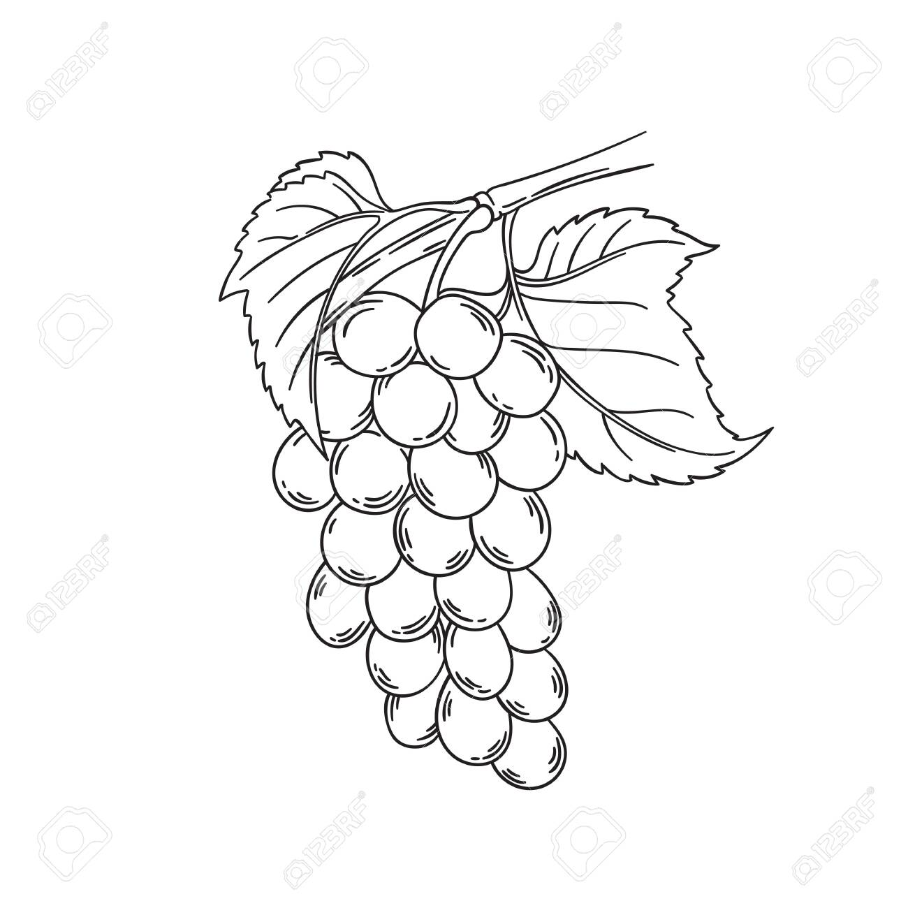 Grape Vine Vector Illustration Black Outline Drawing Isolated Royalty Free Cliparts Vectors And Stock Illustration Image 122579338