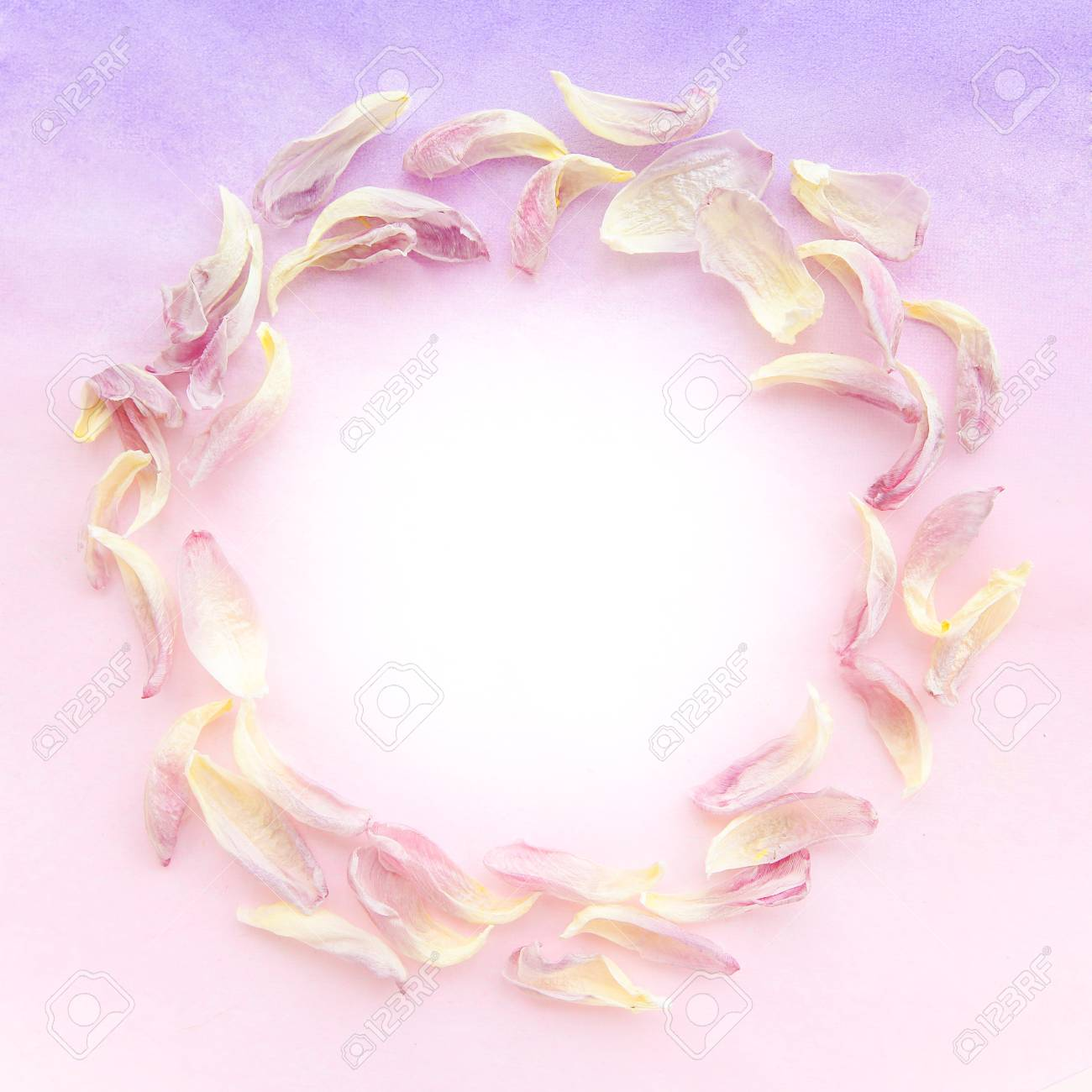 tender pink tulip petals on the purple gradient color background