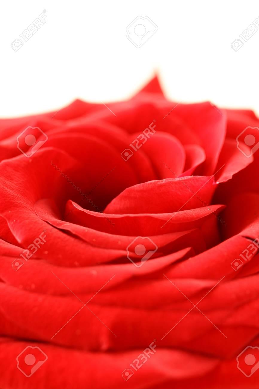macro beautiful red rose background Stock Photo - 11768160