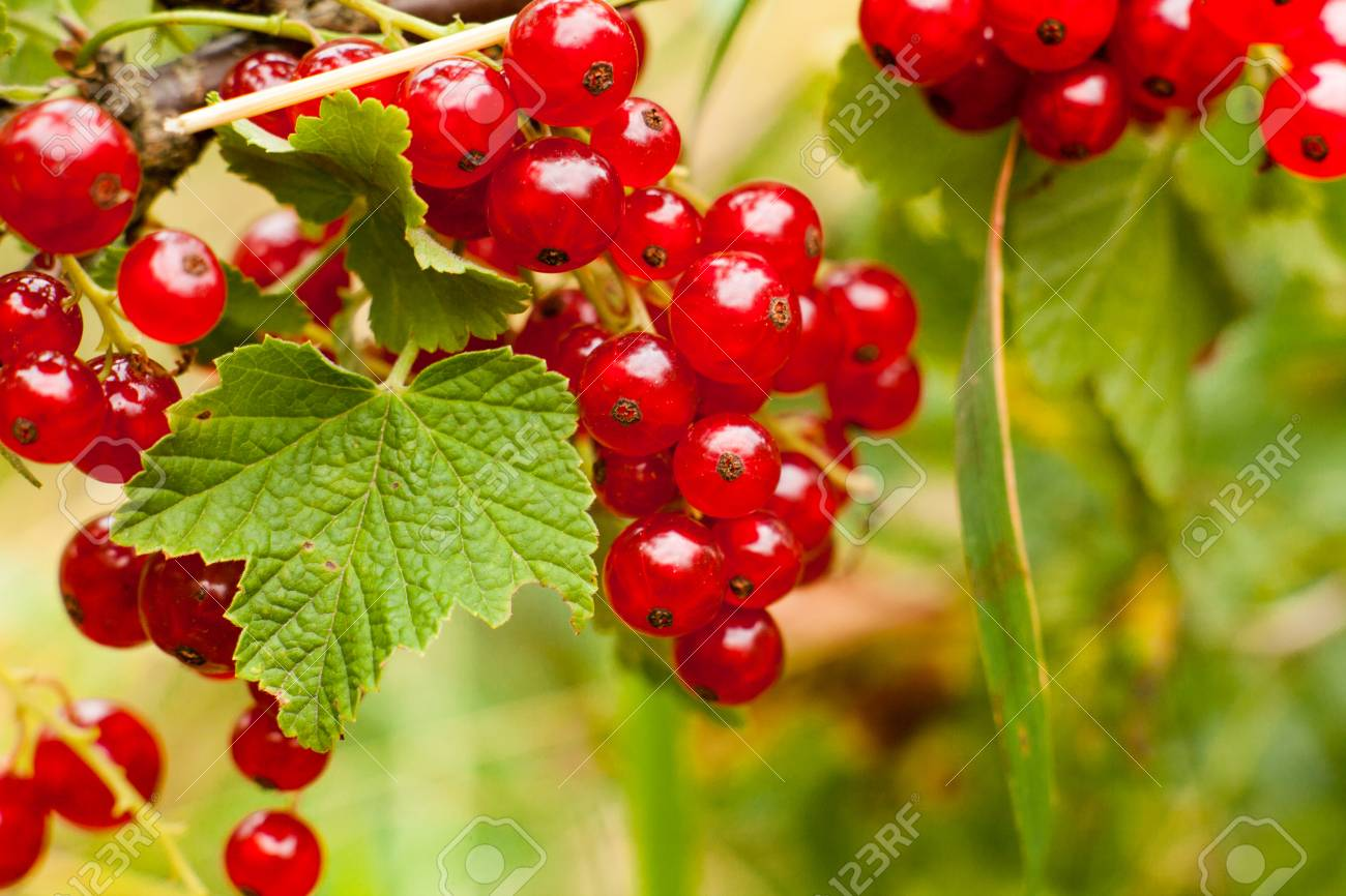 Red Currant Fruit On The Bush Harvest Of Ripe Fluffy Red Currant