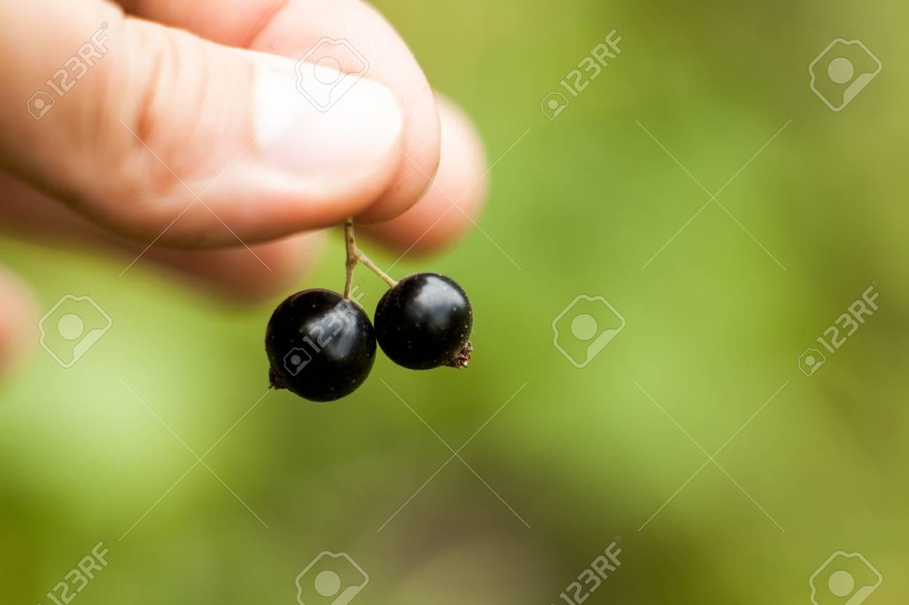 Pluck Blackcurrant Fruit On The Bush Harvest Of Ripe Fluffy
