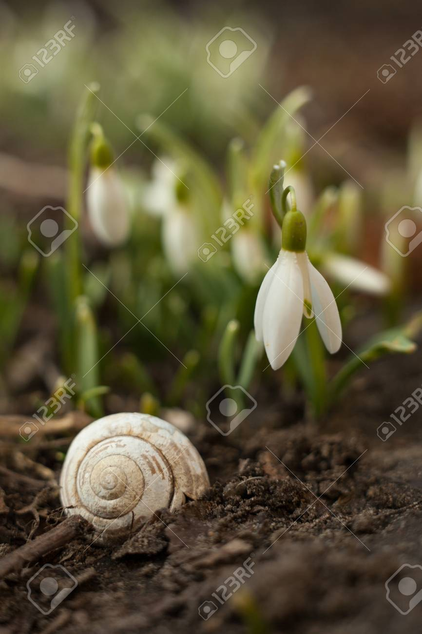 White Snowdrop Bell And Empty Snail Shell Flower In The Shape