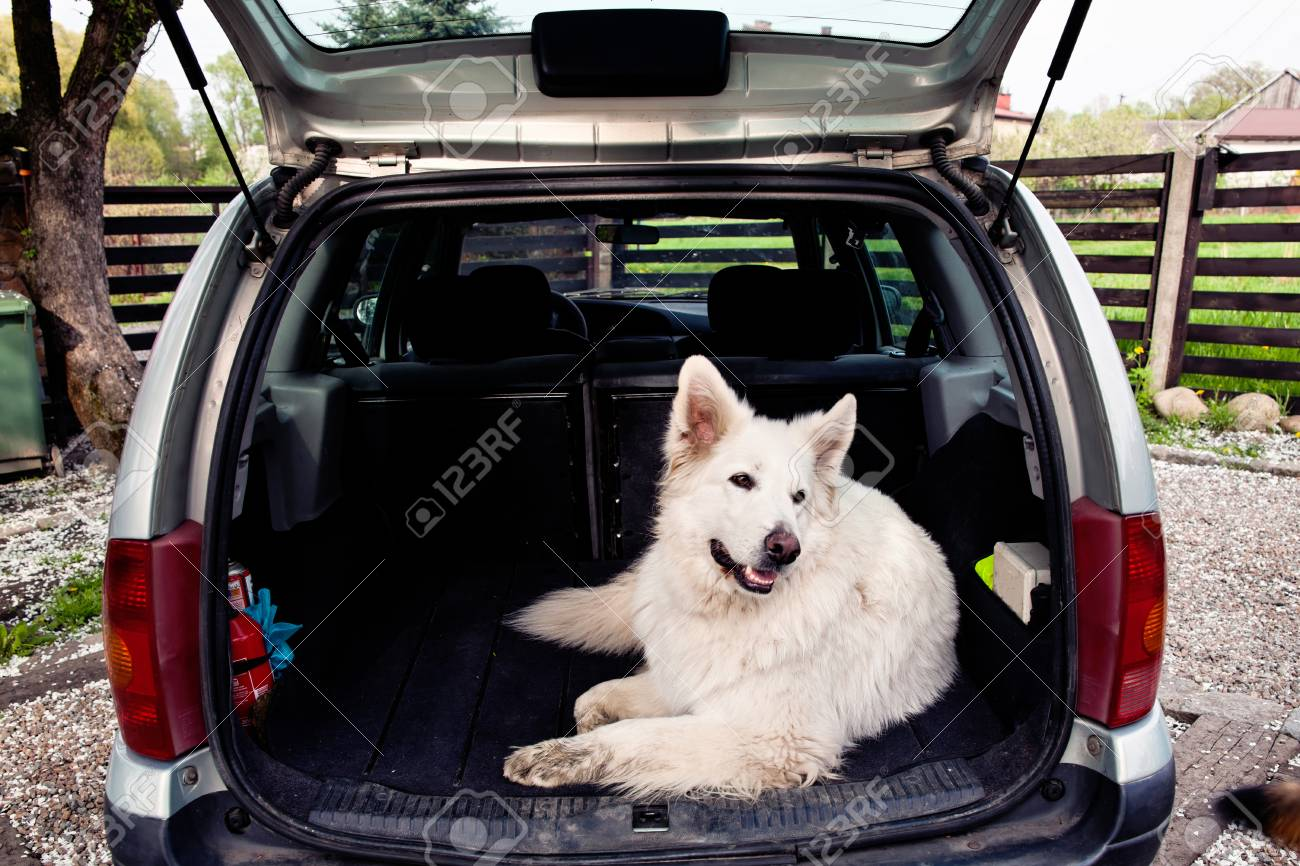 Big White Swiss Shepherd In The Car Carrying Dog Travel With