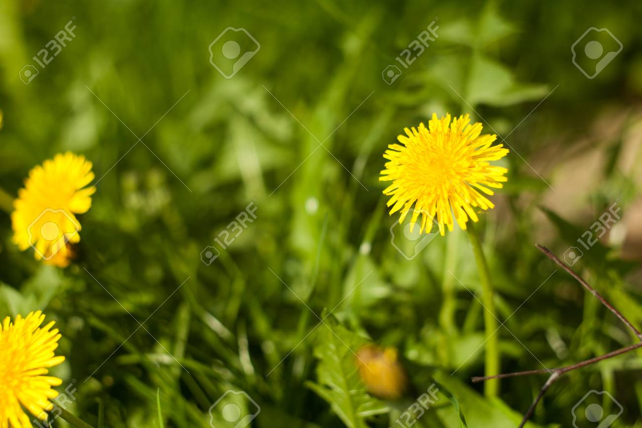 Dandelion On The Meadow A Common Weed In The Meadows Yellow