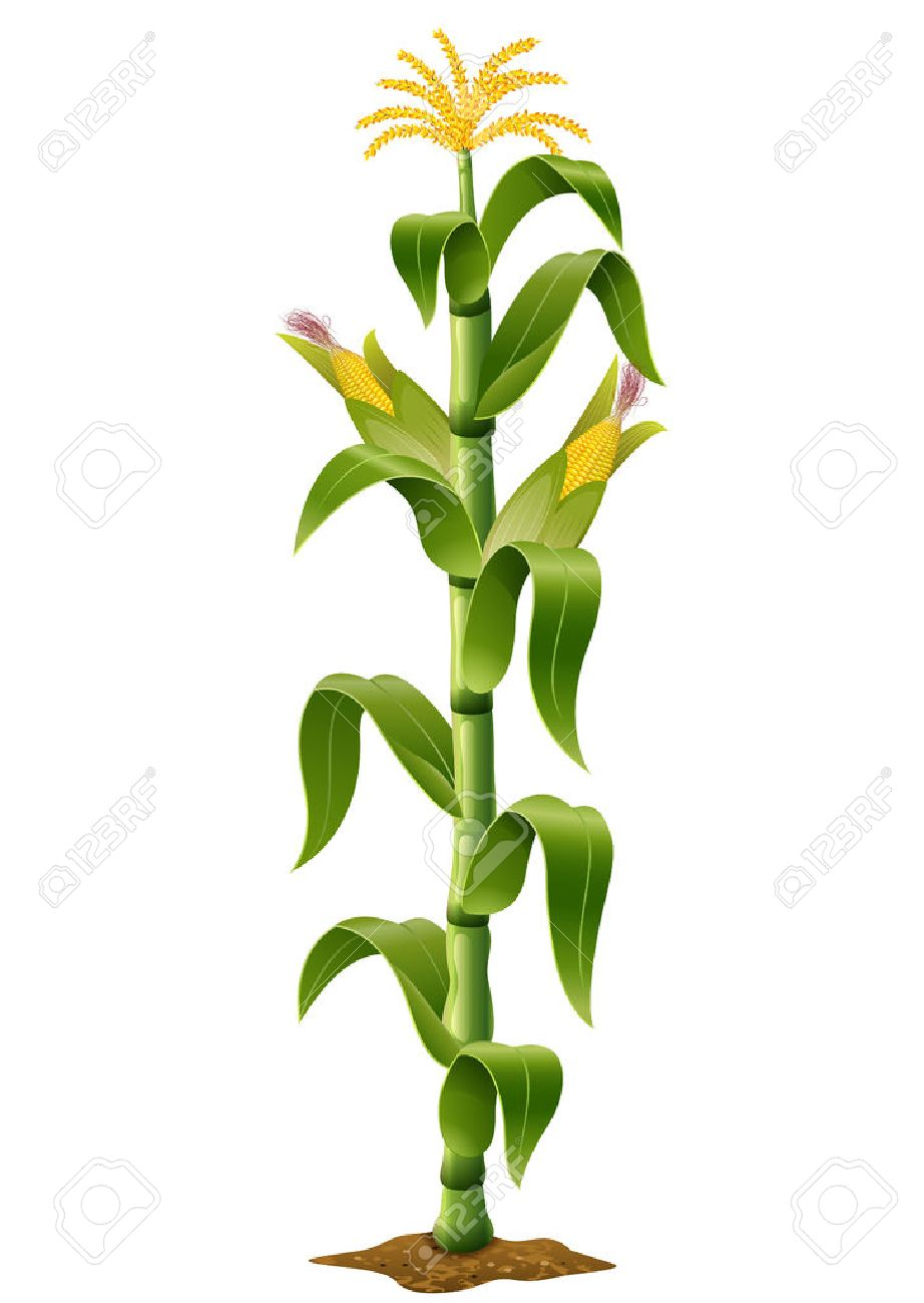 Vector Illustration Of Corn Plant Royalty Free Cliparts, Vectors, And Stock  Illustration. Image 63268953.