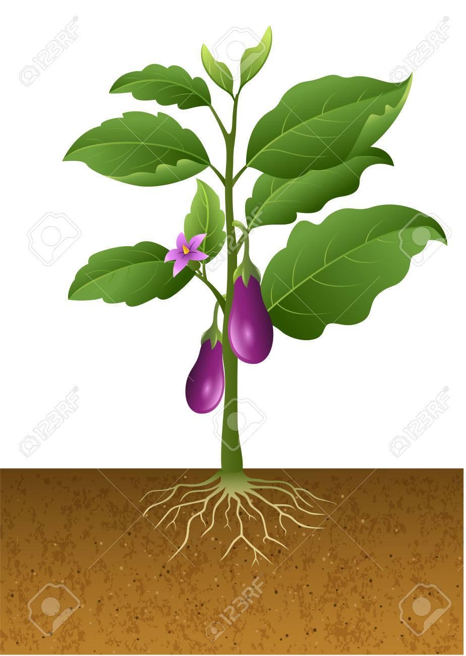 Vector Illustration Of Eggplants Plant On The Tree Illustration