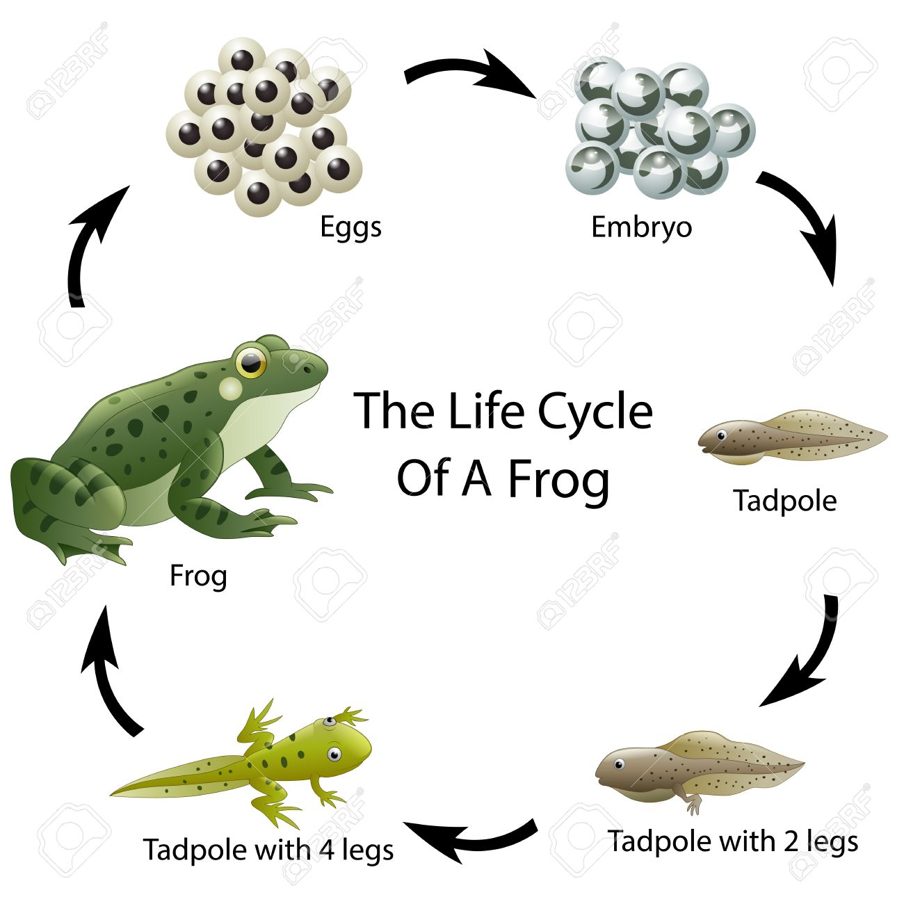 Merveilleux The Life Cycle Of A Frog Stock Vector   64560820