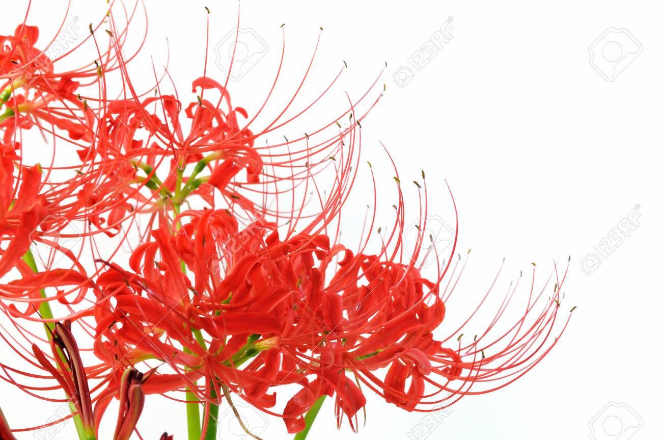 Spider lily white background - 75712314