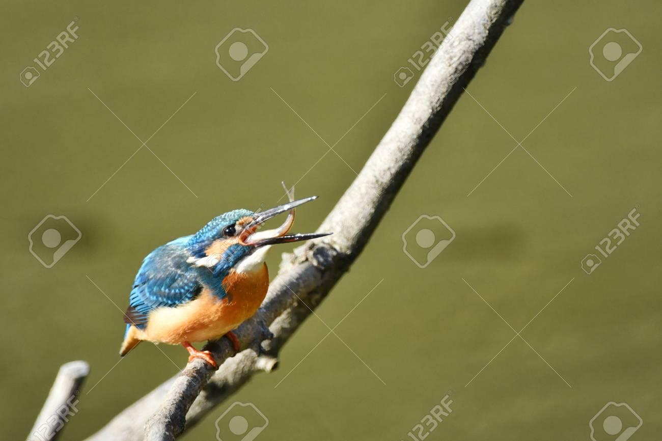 Eisvogel Diät