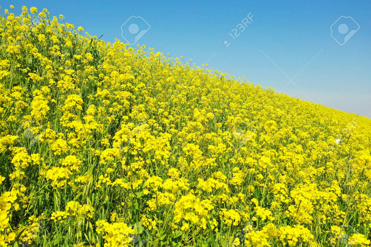 Rape blossoms on the riverbed - 168408868