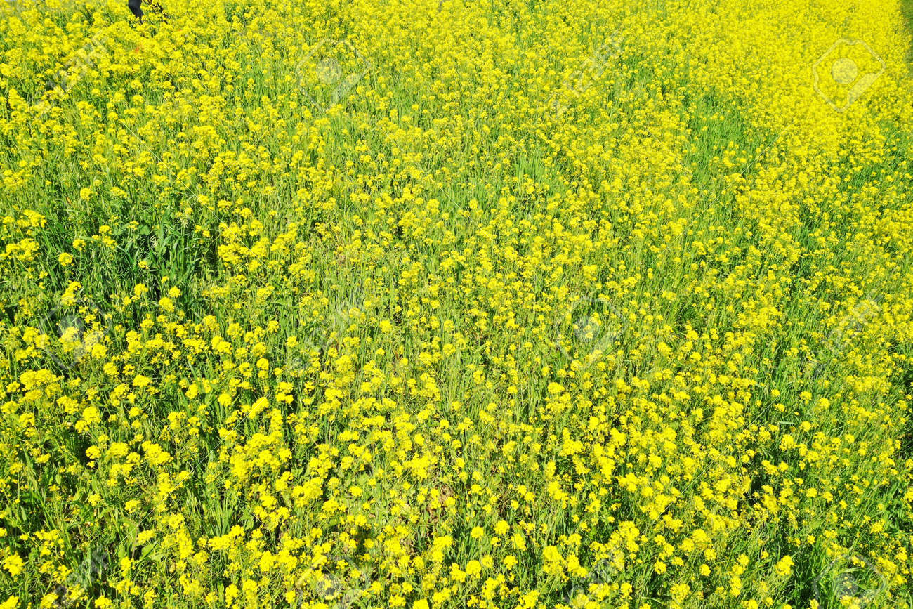 Rape blossoms on the riverbed - 168408869