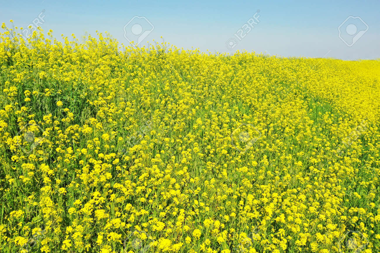 Rape blossoms on the riverbed - 168408872