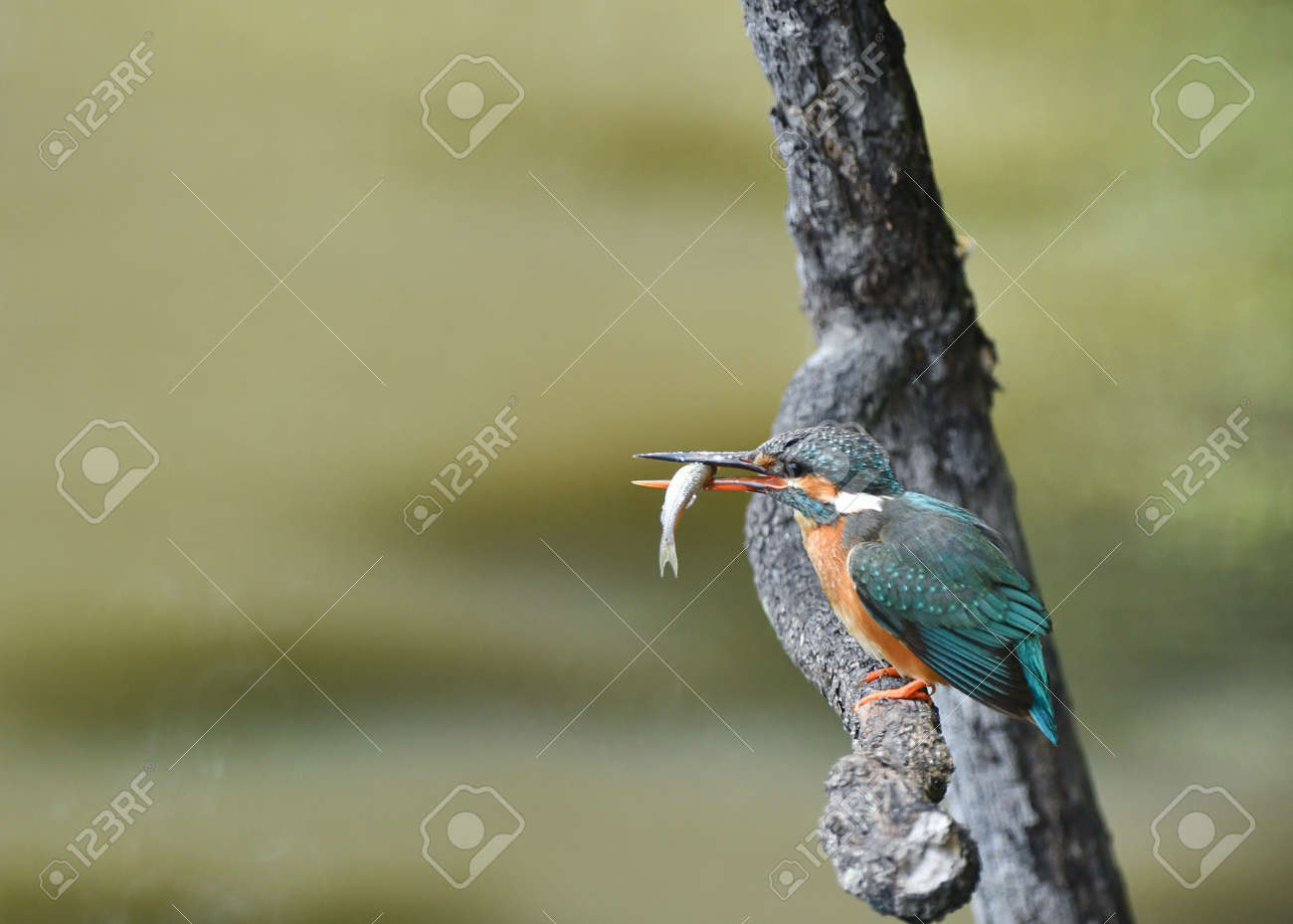 Kingfisher in the diet - 169410084
