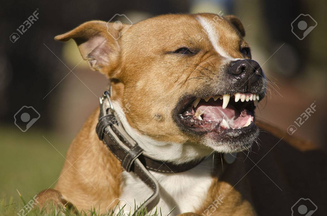 Dog Teeth Stock Photo Picture And Royalty Free Image Image 29892767