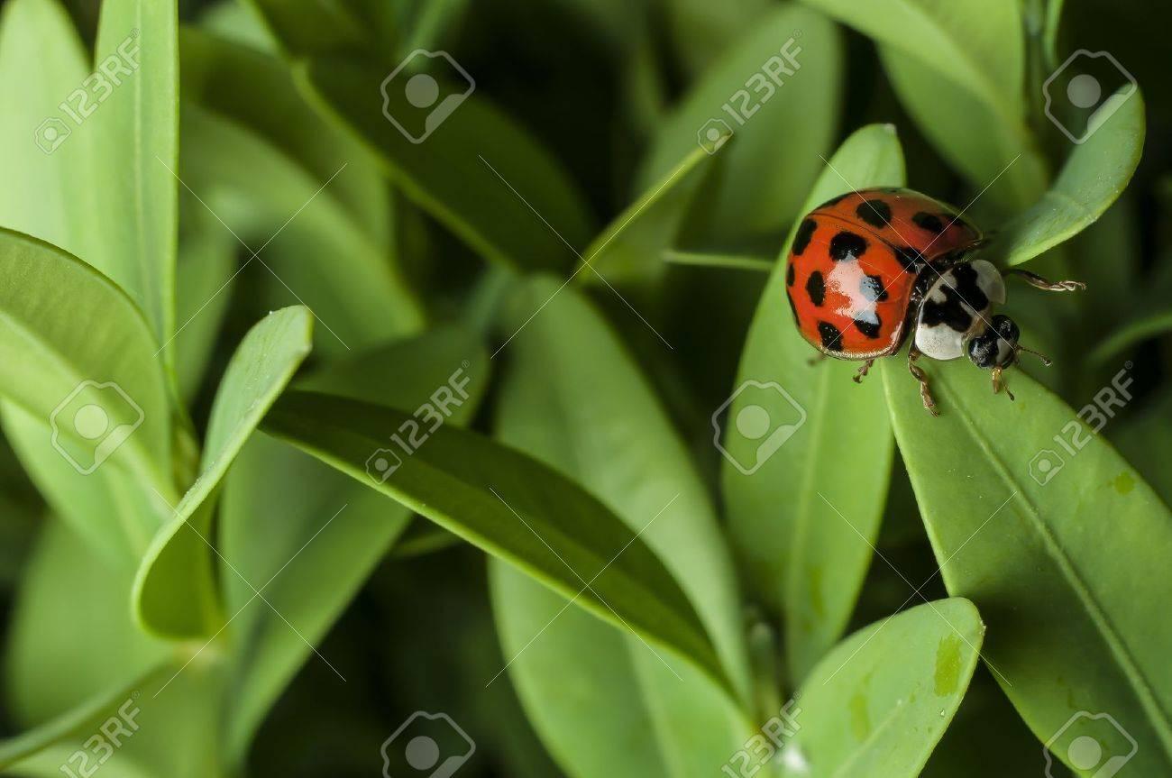 Lady bug Stock Photo - 15462826