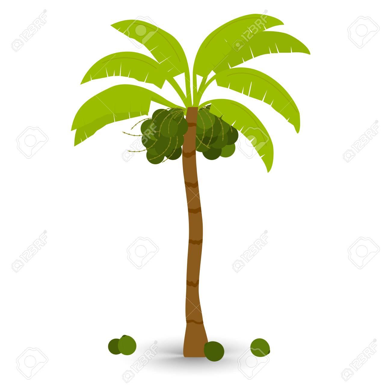 Kokosnussbaum Mit Schatten. Palme Mit Bündel Kokosnussfrucht ...