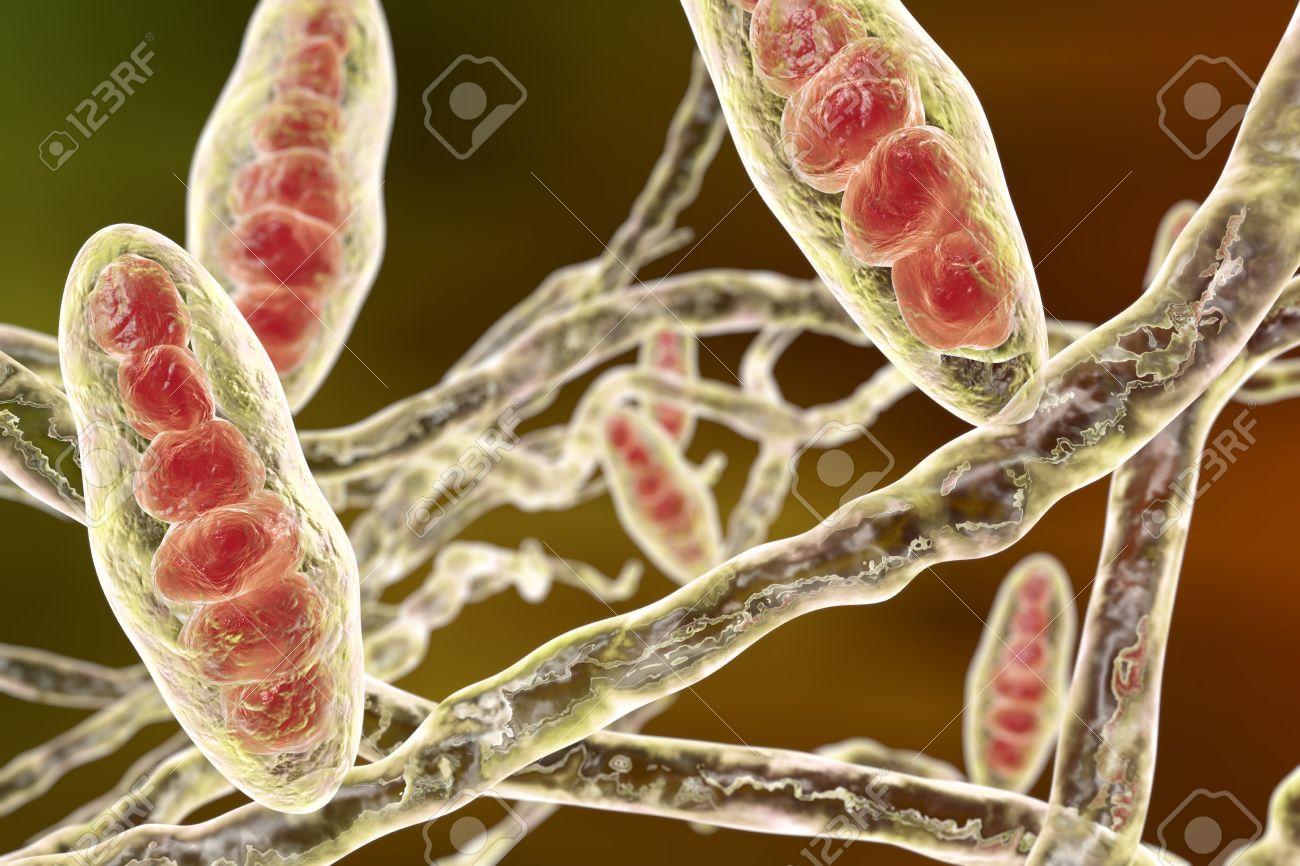 trichophyton mentagrophytes pied