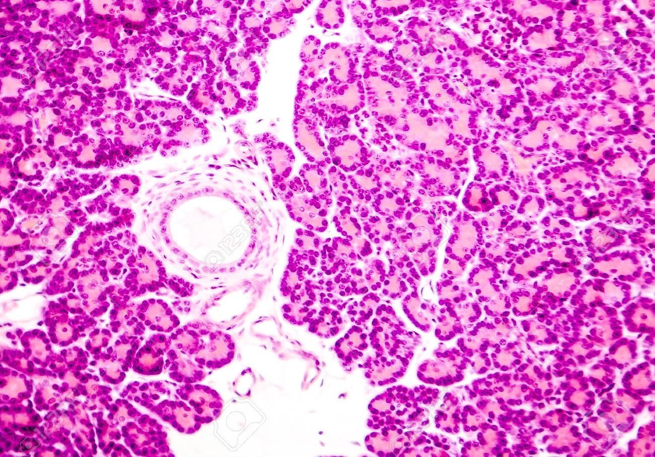 Foto Microscópica Que Muestra El Tejido Pancreático. Micrografía De ...