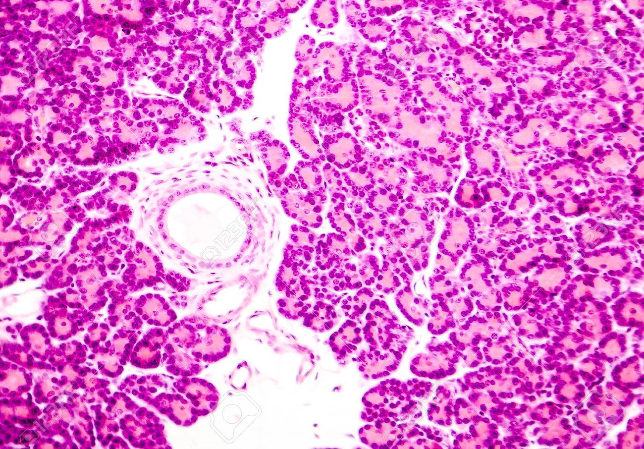 Microscopic Photo Showing Pancreatic Tissue Light Micrograph