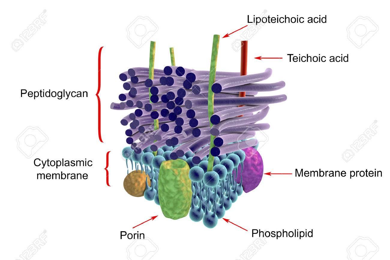 グラム陽性菌、ラベル、3 D イラ...