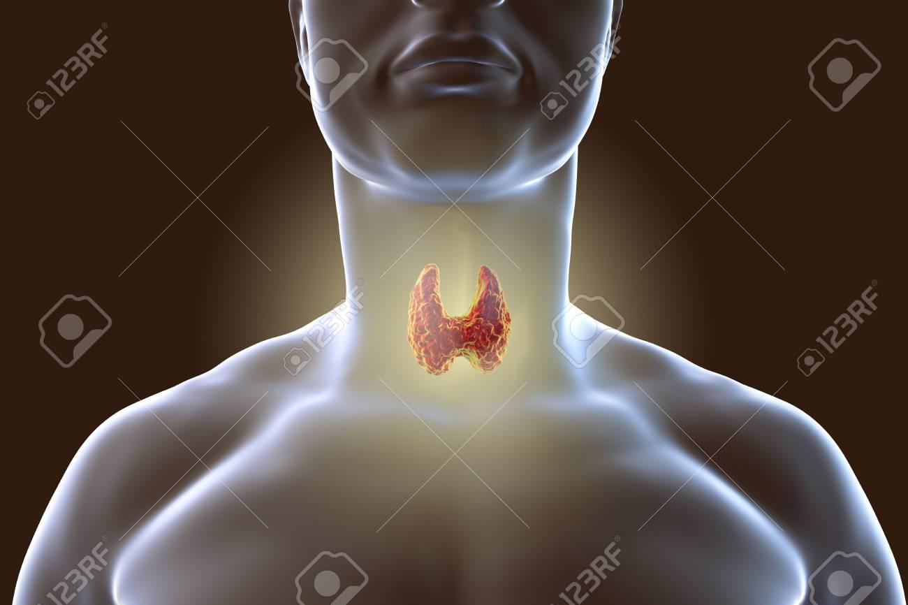 Glándula Tiroides Dentro Del Cuerpo Humano. Ilustración 3D Fotos ...