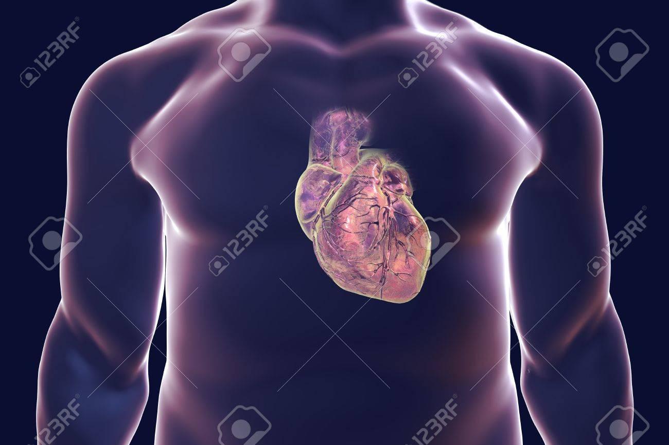 Corazón Humano Con Vessles Corazón Dentro Del Cuerpo Humano ...