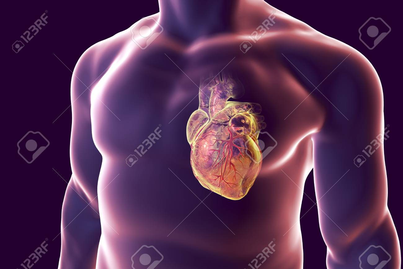 Human Heart With Heart Vessles Inside Human Body, 3D Illustration ...