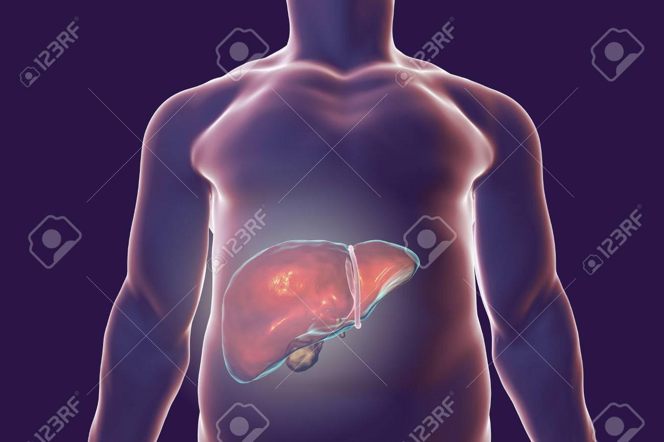 Hígado Con Vesícula En El Interior Del Cuerpo Humano, Ilustración 3D ...