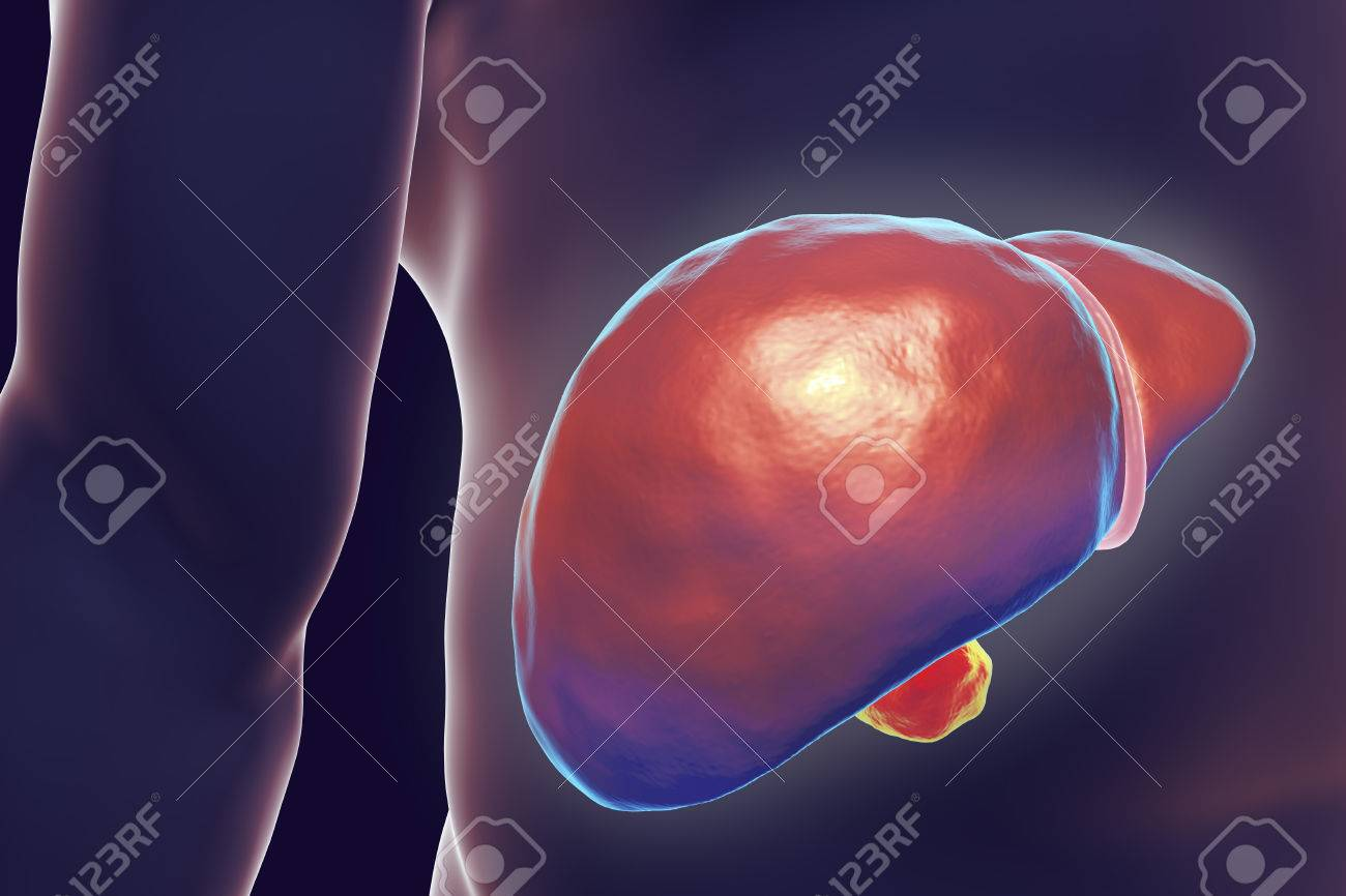 Liver With Gall Bladder Inside Human Body, 3D Illustration Stock ...