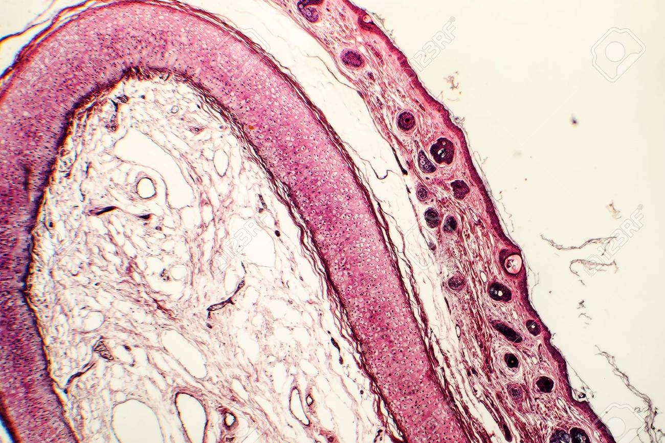 Elastic Cartilage Of Human Outer Ear Light Micrograph Stock Photo