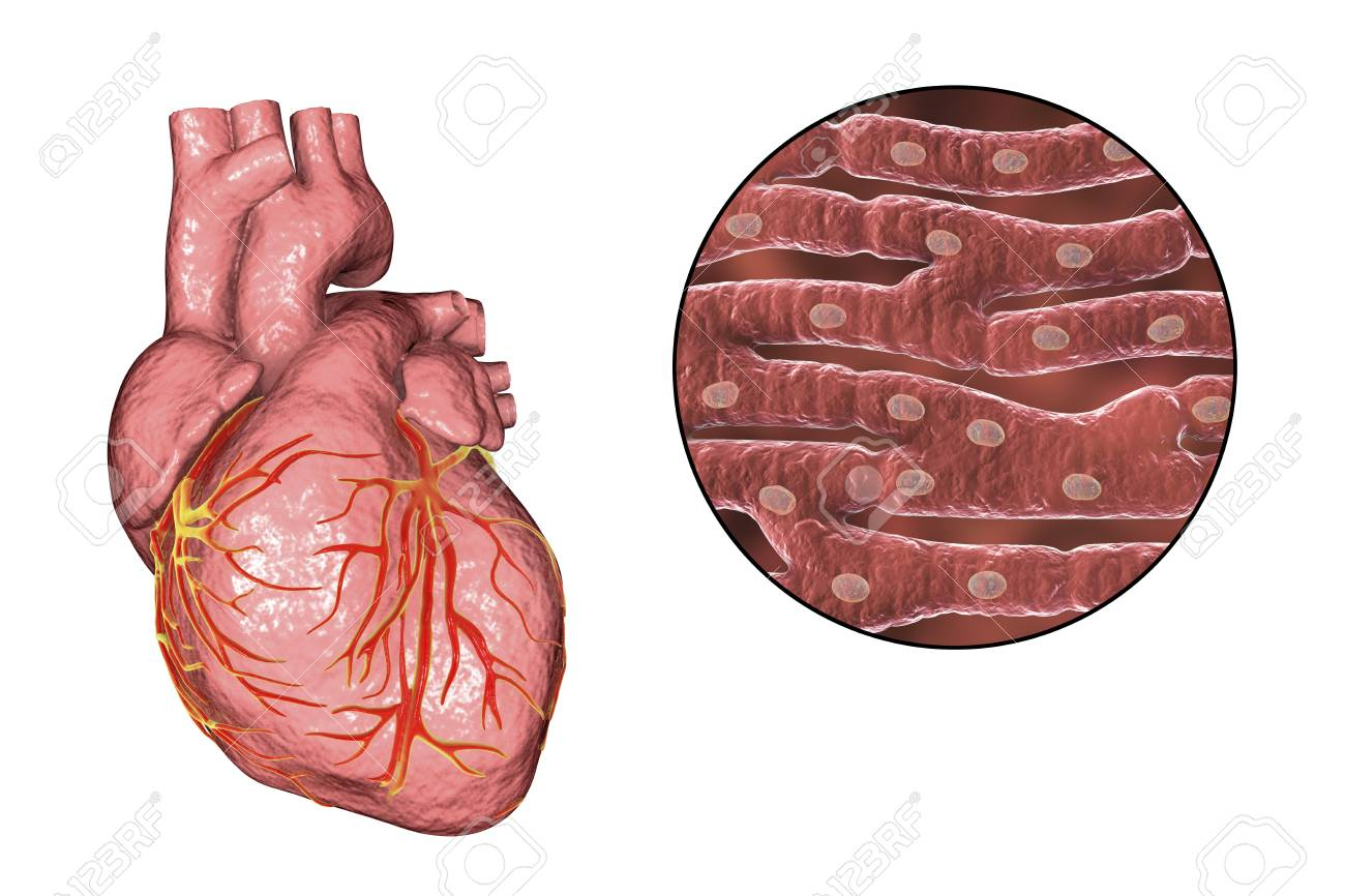 Human heart and close up view of cardiac muscle structure 3d human heart and close up view of cardiac muscle structure 3d illustration stock illustration ccuart Image collections