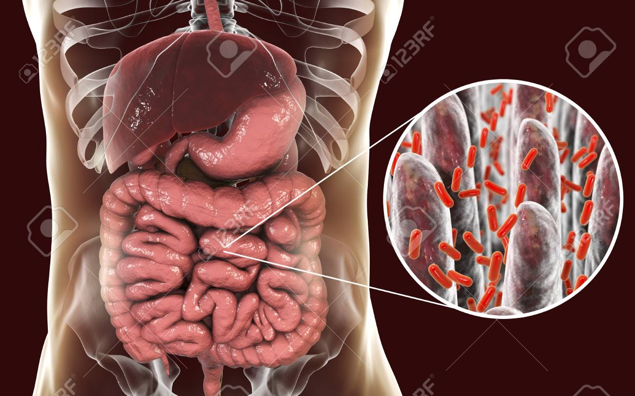 Intestinal Microbiome, Anatomy Of Human Digestive System And.. Stock ...