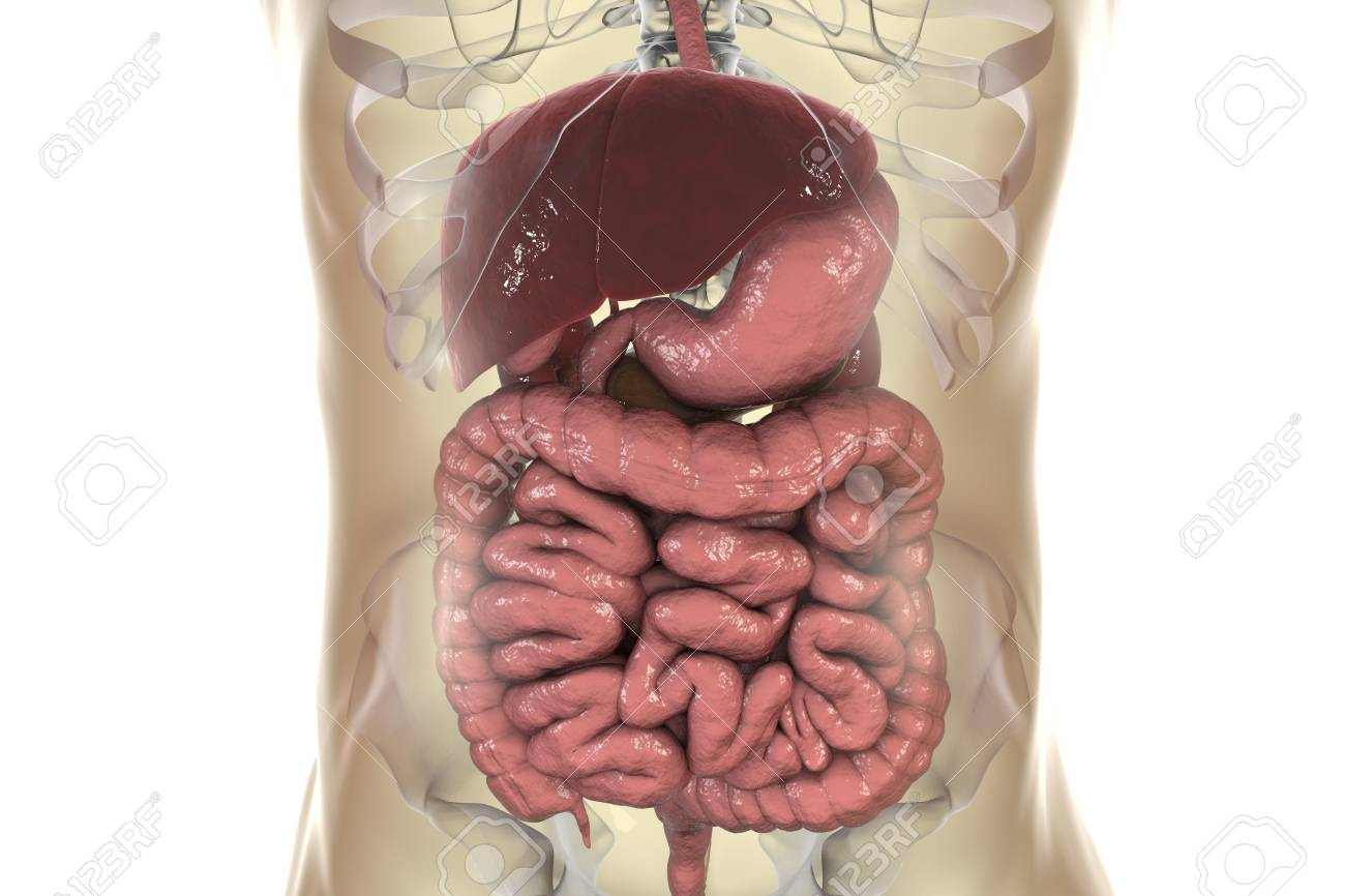 Human Digestive System, Realistic 3D Illustration Showing Esophagus ...