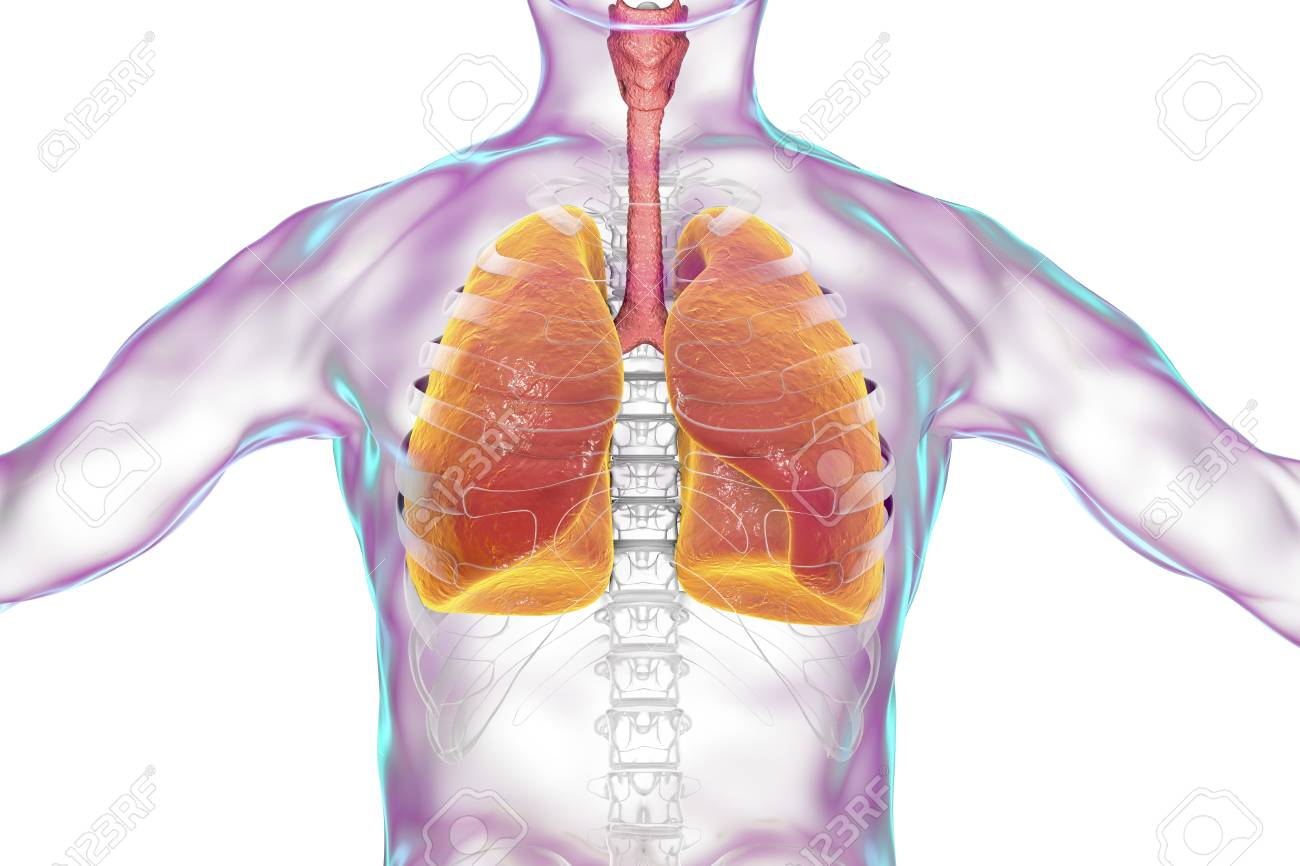 respiratory of the human body Respiratory system: primary function is to obtain oxygen for use by body's cells & eliminate carbon dioxide that cells produce includes respiratory airways leading.