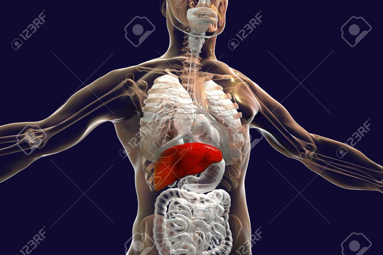 Liver Highlighted Inside Human Body 3d Illustration Stock Photo