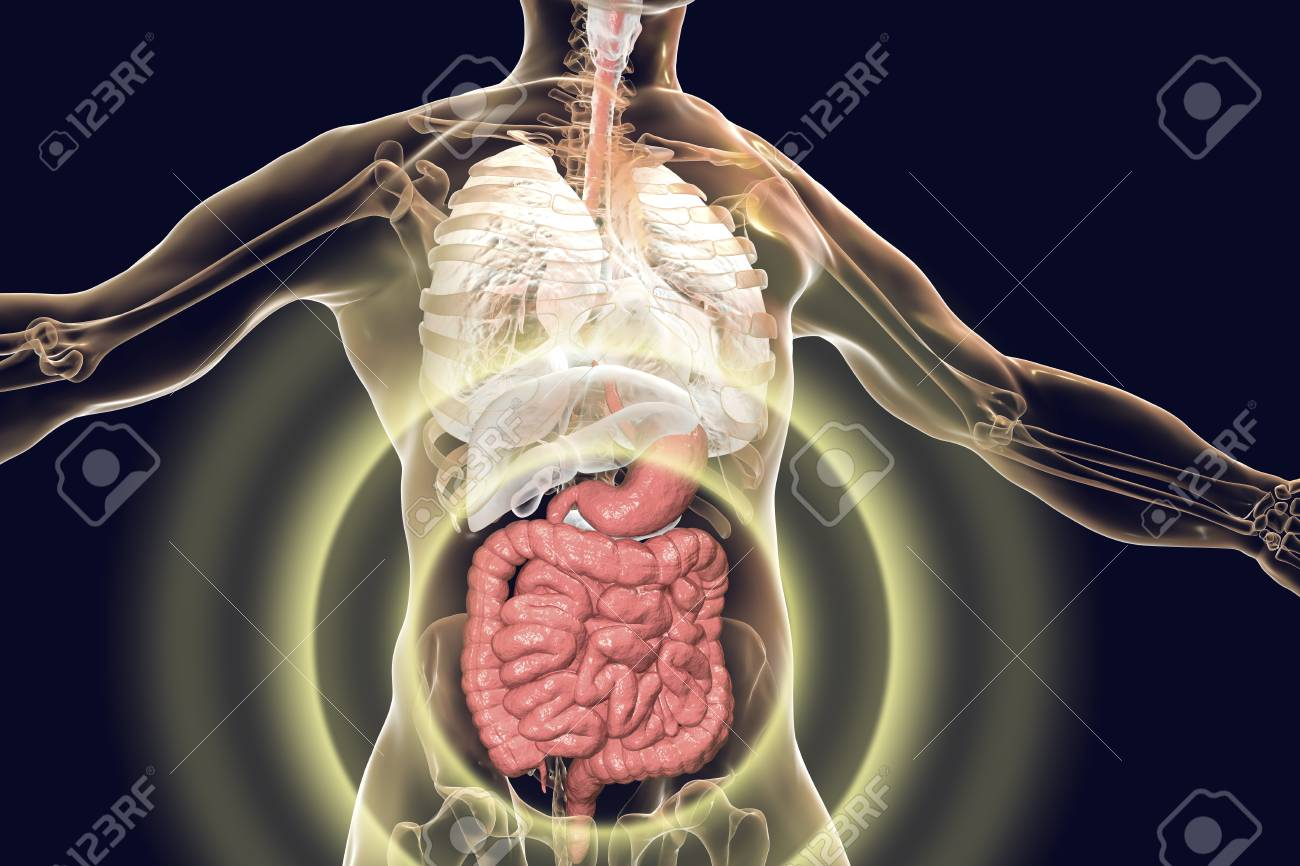 Human Body Anatomy With Highlighted Digestive System 3d